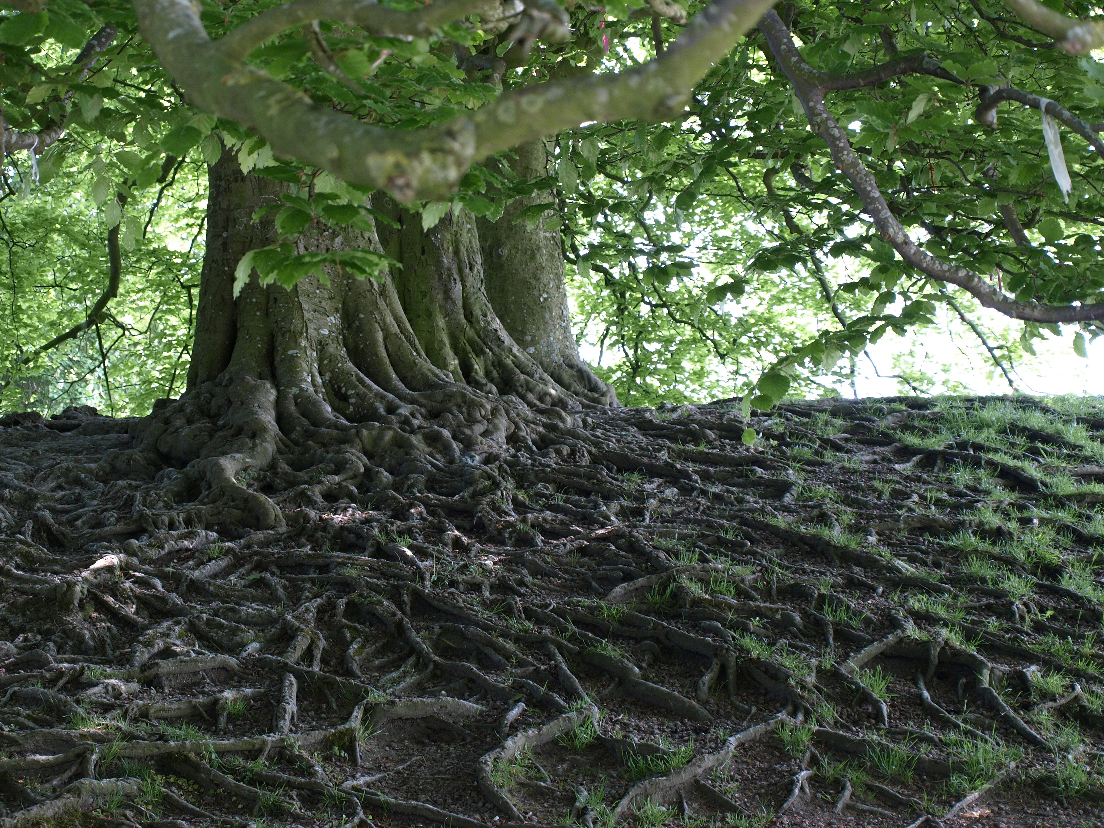 Closeup of the Serpentine Roots